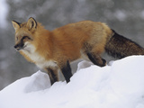 Red Fox (Vulpes Vulpes) Standing at the Top of a Snow Bank  Montana