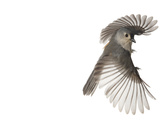 A tufted titmouse  from a deciduous forest  in flight