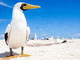 A Gannet Searching for a Mate on a Remote Island in the Gulf of Mexico