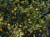 Detail of Orange Trees  Seville  Andalusia  Spain