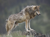 Gray Wolf (Canis Lupus)  North America