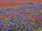 Hill Country Wildflowers  Sand Bluebonnets (LupinusSubcarnosus)  Paintbrush (Castilleja Sp)  Texas
