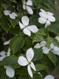 White Dogwood Blossoms on a Tree in Piedmont Park