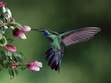Green Violet-Ear (Colibri Thalassinus) Hummingbird  Heath (Cavendishia Capitulata)  Costa Rica