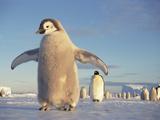 Emperor Penguin (Aptenodytes Forsteri)  Austral Spring  No-Name Rookery  Weddell Sea  Antarctica