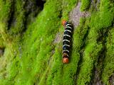 A Larva of the Tetrio Sphinx Caterpillar