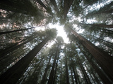 A Redwood Tree Canopy in Humboldt State Park