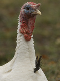 Portrait of a Domestic Tom Turkey