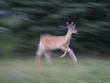 Portrait of a Male White-Tailed Deer  Running