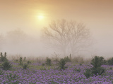Sand Verbena (Abronia Gracilis) and Foggy Morning Sunrise over a Bare Tree  Hill Country  Texas