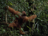 Orangutan  Pongo Pygmaeus  Grabs a Diospyros Fruit on a Tree Trunk