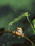 Red-Eyed Tree Frog (Agalychnis Callidryas) in Rain  Native to Central and South America