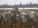 A Nomadic Komi Reindeer Herder Walks His Team Through a Snowstorm