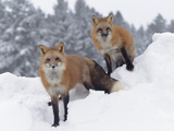 Red Fox (Vulpes Vulpes) in Snow Fall Showing the Black and Red Markings of Cross Phase  Montana