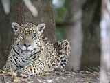 Portrait of an Endangered Jaguar  Panthera Onca  at Rest