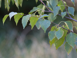 Close Up of Leafy Tree Branches