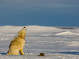 A Canadian Eskimo Dog on an Expedition Howls Back at Arctic Wolves