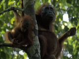 Female Orangutan  Pongo Pygmaeus  with Her Baby Resting in a Tree