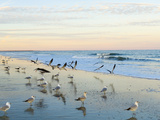 Common Sea Gulls and Surf