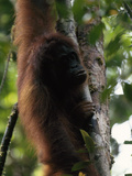 Female Orangutan  Pongo Pygmaeus  Clings to a Tree Trunk