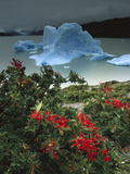 Chilean Firebush (Embothrium Coccineum) and Iceberg  Lago Grey  Patagonia  Chile