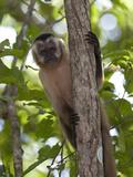 Tufted Capuchin Monkey  Cebus Apella  in a Tree