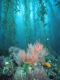 Giant Kelp (Macrocystis Pyrifera) Forest with Garibaldi, Channel Islands National Park, California Papier Photo par Flip Nicklin/Minden Pictures