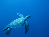 Green Sea Turtle (Chelonia Mydas) Endangered  Swimming Underwater  Cocos Island  Costa Rica