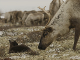 A Reindeer Cow Approaches Her Newborn Calf Lying in the Tundra