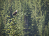 Bald Eagle Perched in the Top of an Evergreen Tree