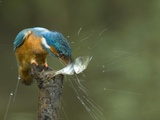 Adult Male Common Kingfisher  Alcedo Atthis  Shaking a Common Roach