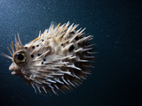 A Puffer Fish Inflates Itself to Protect Itself from Danger