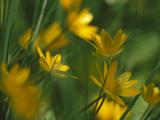 Yellow Spring Flowers  Jasmund National Park  Ruegen  Germany