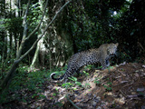 A Motion-Triggered Camera Caught This Leopard Preying on Chimpanzees
