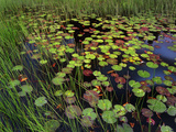 Pond with Lily Pads and Grasses  Cape Cod  Massachusetts