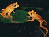 Monteverde or Golden Toad (Bufo Periglenes)  Extinct  Monteverde Cloud Forest Reserve  Costa Rica