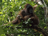 A Female Orangutan  Pongo Pygmaeus  and Her Baby Sit in a Tree