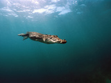 Saltwater Crocodile (Crocodylus Porosus) Swimming Underwater  Oro Bay  Papua New Guinea
