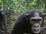 A Small Party of Chimps Triggers a Remote Video Camera