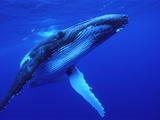 Humpback Whale (Megaptera Novaeangliae) Swimming  Underwater  Tonga