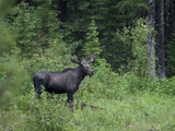 Portrait of a Northwestern Moose  Alces Alces Andersoni