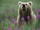 Brown or Grizzly Bear (UrsusArctos) and Fireweed (ChamerionAngustifolium)  Katmai Nat&#39;lPark  Alaska