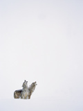Timber Wolf (Canis Lupus) Pair Howling in Snow  North America