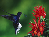 Violet Sabre-Wing Hummingbird (CampylopterusHemileucurus)  Zebra Plant (AphelandraSp)  Costa Rica