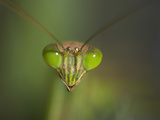 Close Up of the Head of a Praying Mantis  Mantis Religiosa