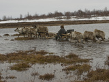 A Nomadic Komi Reindeer Herder Takes His Sled Through a Meltwater Bog