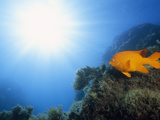 Garibaldi Fish and Sunlight in a Reef