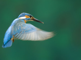 An Adult Male Common Kingfisher  Alcedo Atthis  Hovering over Water