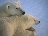 Polar Bear (Ursus Maritimus) and Cub at Dawn  Churchill  Manitoba  Canada