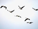 A Flock of Australian Pelicans Fly Against an Overcast Sky